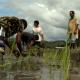 timor leste arroz 3
