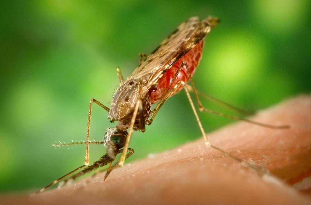 malária inseto
