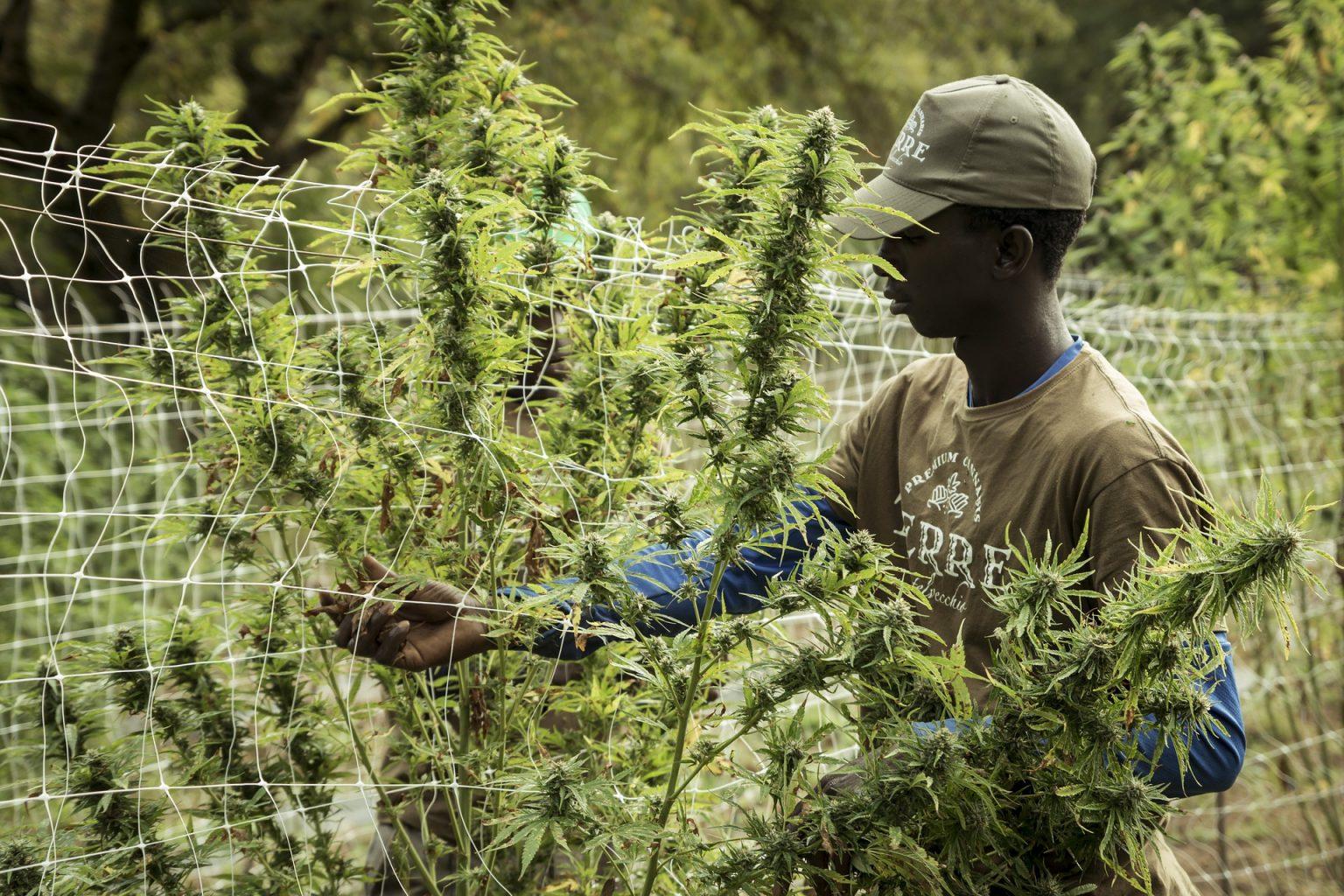 STP: Presidente da Assembleia Nacional contra o cultivo de cannabis
