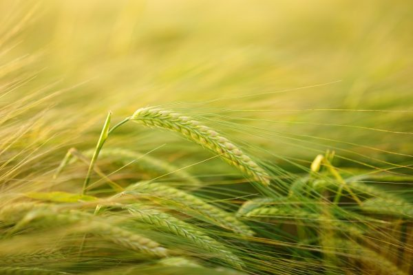 alimento; trigo; agricultura
